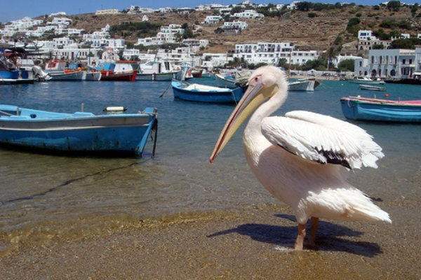 Petros the Pelican, the famous mascot of Mykonos, walking on the beach by the boats.