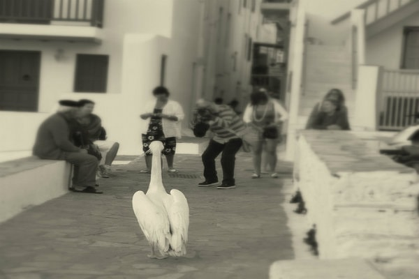 Petros the Pelican, the famous mascot of Mykonos, where Semeli Best Hotel is located.